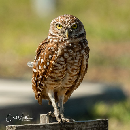 Adult Burrowing Owl looking at me