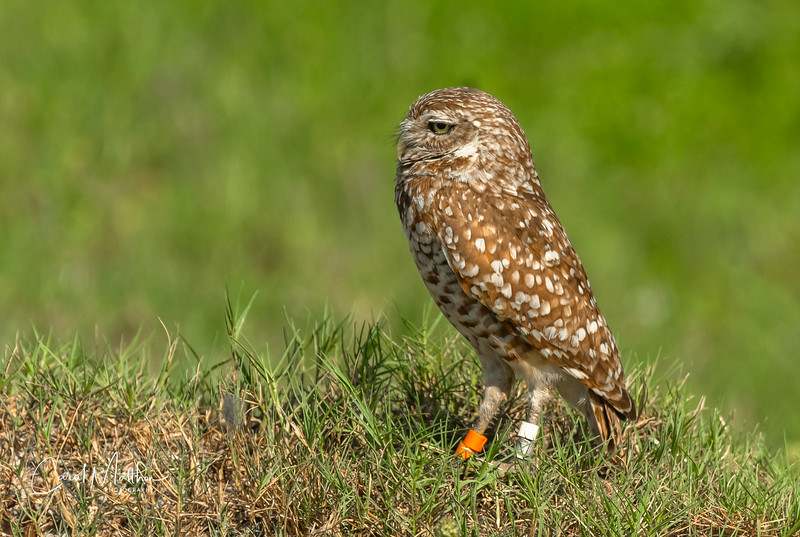 Burrowing owl in a nice setting