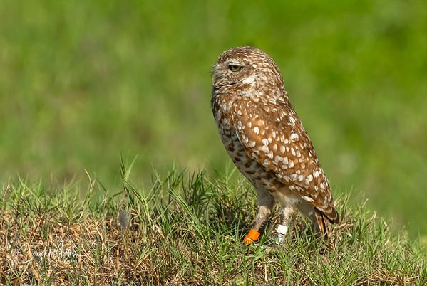 Burrowing owl in a nice setting