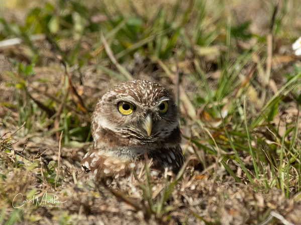 Burrowing owl coming out of the burrow