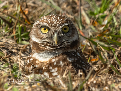 Burrowing owl  with a direct look