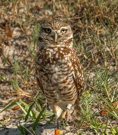 Burrowing owl wondering who I am