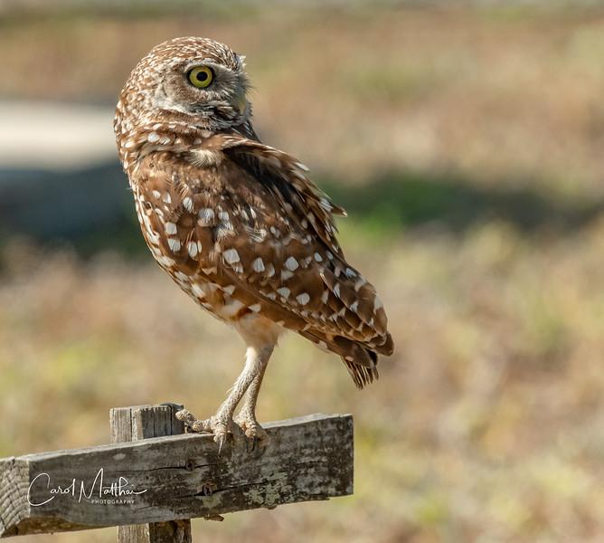 Adult Burrowing Owl backward glance
