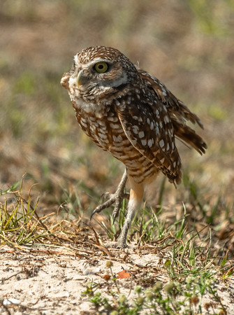 Burrowing owl stepping out