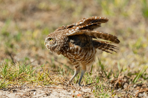 Burrowing owl ready for liftoff
