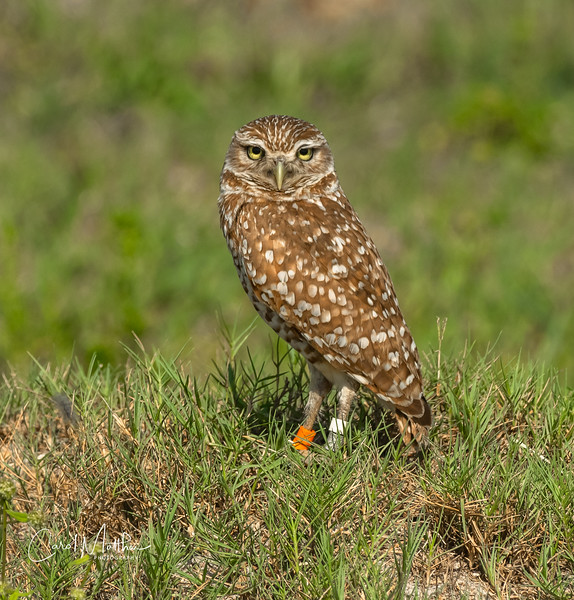 Burrowing owl pose