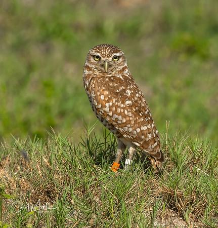Burrowing owl pose