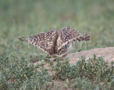 Burrowing Owl Yoga