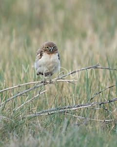 Burrowing Owl-40