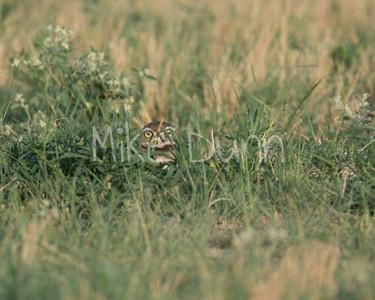 Burrowing Owl-39