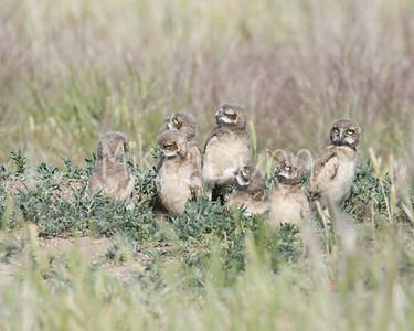 Burrowing Owl-56