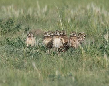 Burrowing Owl-76