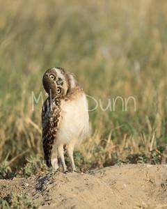 Burrowing Owl-42