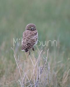 Burrowing Owl-46