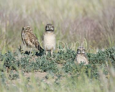 Burrowing Owl-55