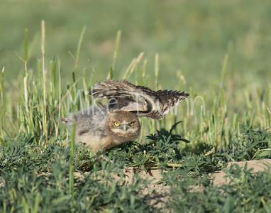 Burrowing Owl-51