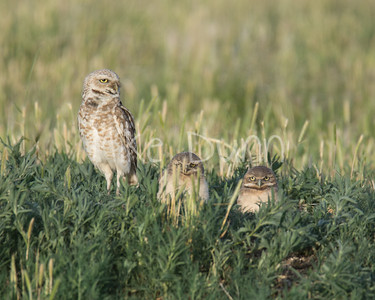 Burrowing Owl-54