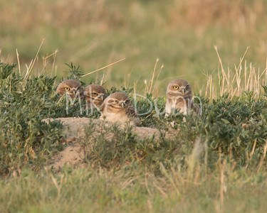 Burrowing Owl-66