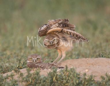 Burrowing-Owl-78