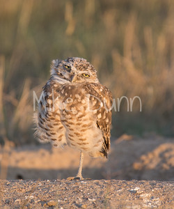Burrowing Owl-49