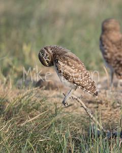 Burrowing Owl-41