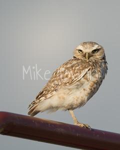 Burrowing Owl-61