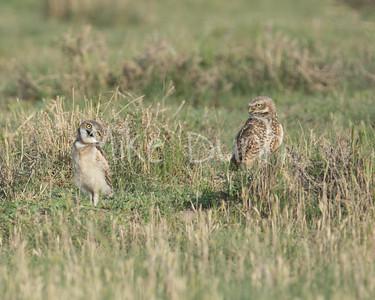 Burrowing Owl-58