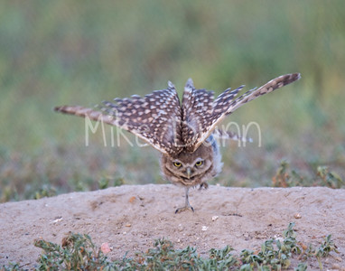 Burrowing Owl Stretch