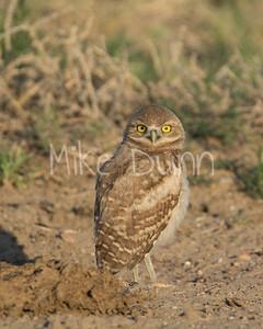 Burrowing Owl-65