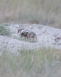 Burrowing Owl-72