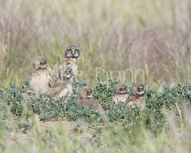 Burrowing Owl-57