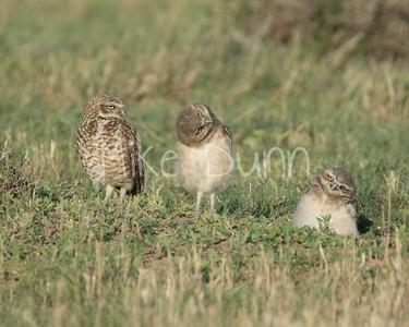 Burrowing Owl-59