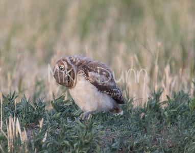 Burrowing Owl-68
