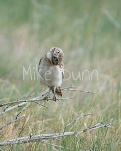 Burrowing Owl-44