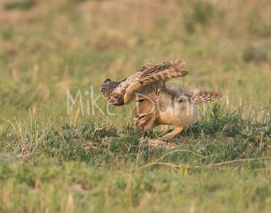 Burrowing Owl-67