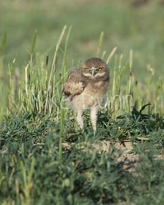 Burrowing Owl-52