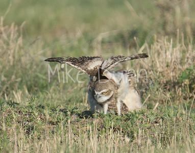 Burrowing Owl-64