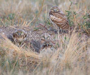 Burrowing Owl-48