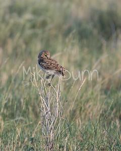 Burrowing Owl-38