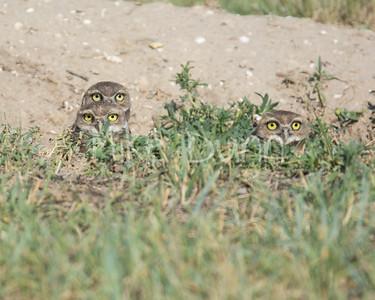 Burrowing Owl-35