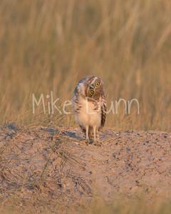 Burrowing-Owl-74