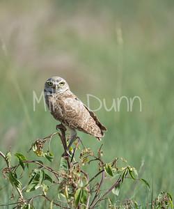 Burrowing Owl-36
