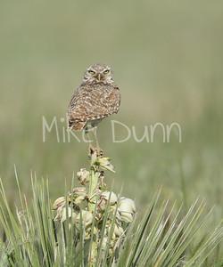Burrowing Owl-50