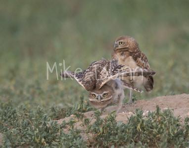 Burrowing Owl-79