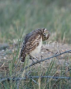 Burrowing Owl-37