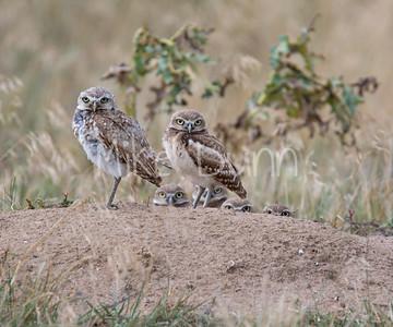 Burrowing Owl-45