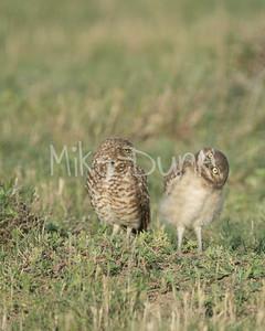 Burrowing Owl-60