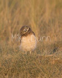 Burrowing Owl-71