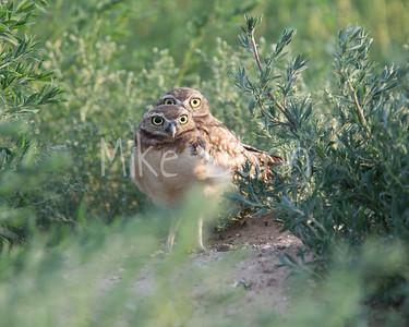 Burrowing Owl-47