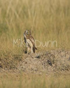 Burrowing Owl-73